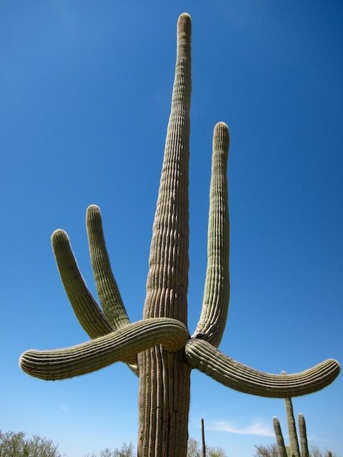 Saguro-studded landscape just outside Tucson