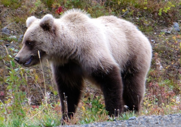 If you're foraging for Yukon berries, you might be competing with this grizzly