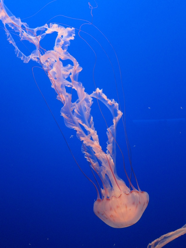 Amazing jellyfish gracefully moving at Monterey Bay Aquarium