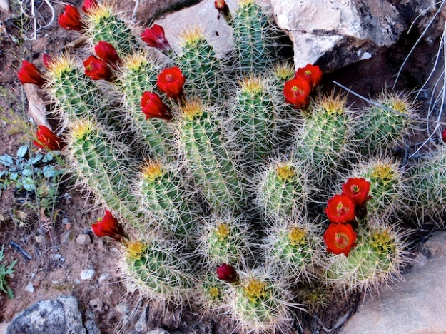 A desert miracle: the claret cup cactus in bloom