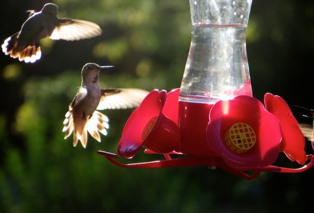 There were up to eight hummingbirds around this feeder in the north Okanagan Valley