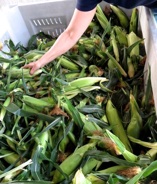 Super sweet mid-July corn from Silver Rill Farm in Saanich, B.C.