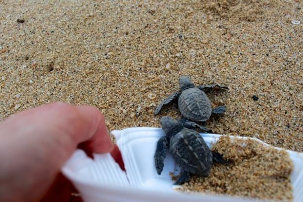 A Todos Santos bonus: Releasing fledgling sea turtles into the Pacific Ocean